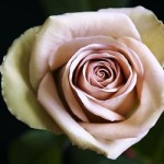 fiftyflowers lavender rose