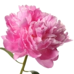 Light pink peonies wedding flowers