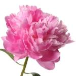 Light pink peonies wedding flowers