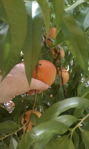 picking peaches for peach pie recipe at Lawrence Farms Orchards