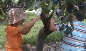 Picking plums at Lawrence Farms Orchards