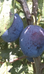 Plums at Lawrence Farms Orchards