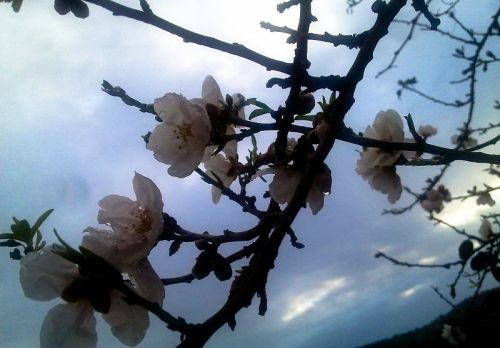 Almonds_Blossoms Isael